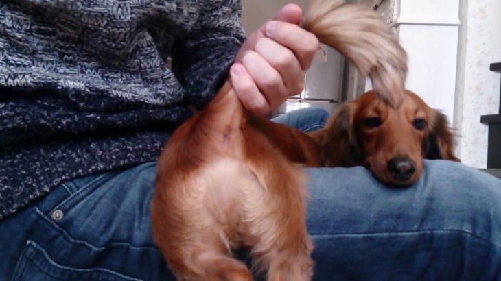 自宅で簡単に出来る犬の肛門線しぼり(ミニチュアダックスフンド編)犬の肛門ケア動画