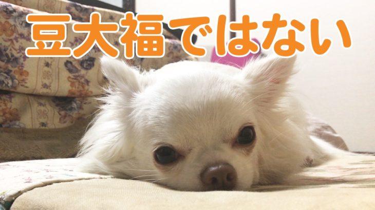 犬のチワワ!ペタンコの時は豆大福みたいでカワイイ/Dog bun like