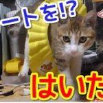 【猫おもしろかわいい】スカートをはいた猫!?シャワーキャップを噛みまって遊ぶ猫。
