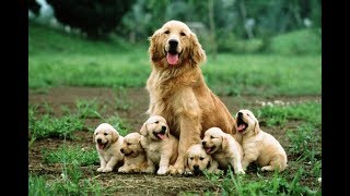 「超かわいい犬」子犬の一番の遊び相手はお母さん犬!母犬が大好きな子犬た