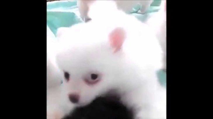 可愛い子犬 子犬のポメラニアンの群れがカワイイ Cute puppy Pomeranian