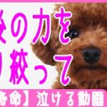 【犬の寿命】 最後の力を振り絞って – 泣ける動画