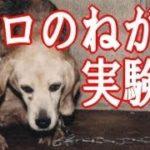 泣ける話 【動物】 実験犬シロのねがい 【実話】