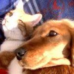 犬と仲直りできて嬉しくてゴロゴロいう猫 犬を怒らせた!Angry dog vs playful cat.
