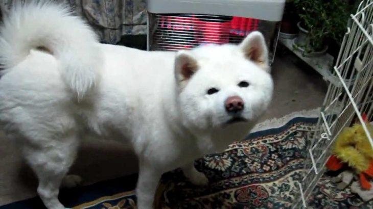 秋田犬オナラをして恥ずかしがる 【akita dog fart】