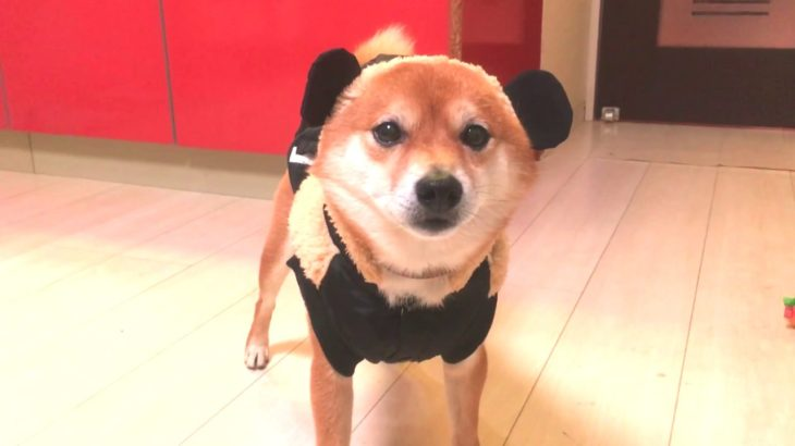 柴犬チョリ!!?【かわいい】【カワイイ 】ミッキーマウスの服を着たら面白くなってしまった