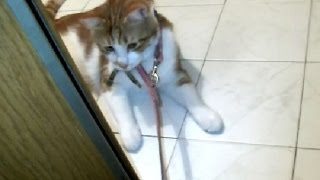 考える猫 猫にお散歩行こうと誘ってみた(元野良なのにw)犬猫仲良し Let's go out for a walk♪