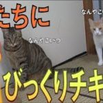 猫たちにびっくりチキンを見せたらどんな反応をするのか・・・!!