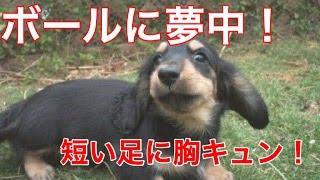 【犬おもしろ動画】かわいいダックス短い足でがんばれ!