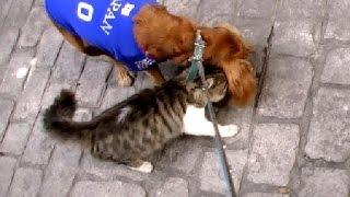 猫の熱烈スリスリが凄くて歩けない!犬と猫のお散歩 Cat Loves Dog