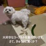 犬はきゅうりに驚くか? 試してみました。 Cute Maltese dog