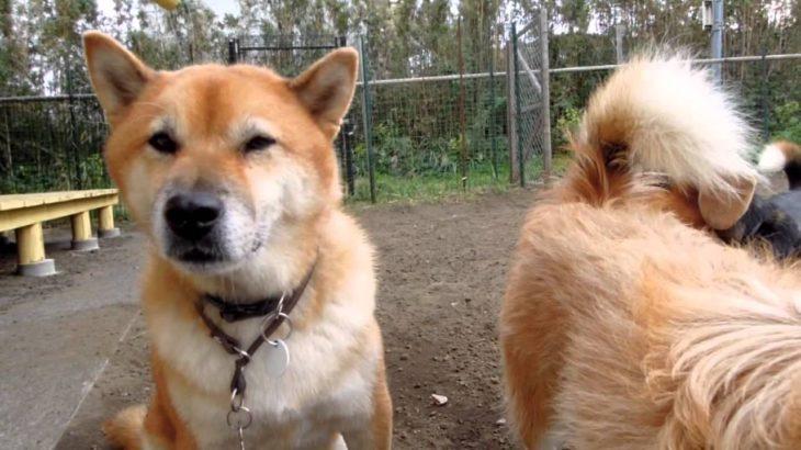 ・・・!!・・・びっくりしたぁーーー 柴犬寅っち☆