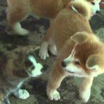 秋田犬 かわいい子犬たち けんか始まる
