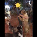 「最高におもしろ犬」 かわいいゴールデンレトリバーのハプニング, 失敗動画集 #1