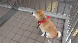 ご主人の帰りをひたすら待つ 犬のきもち  shiba inu 柴犬動画  video