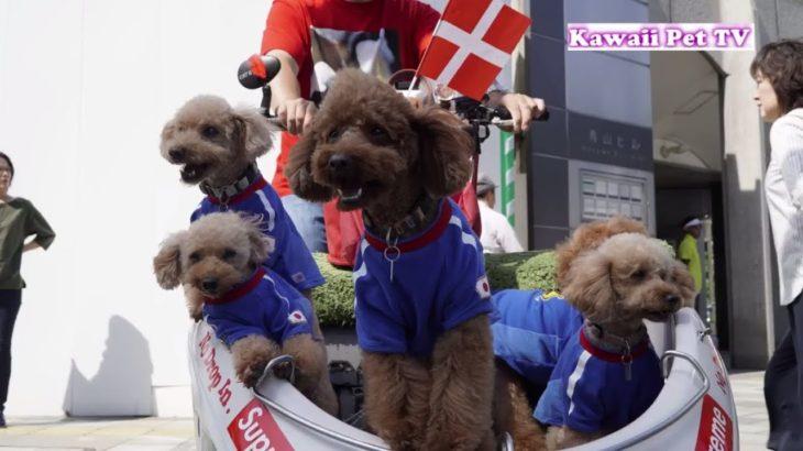 「かわいい犬」青山一丁目で会った超かわいい5匹のトイプードル 犬