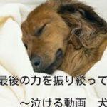 最後の力をふりしぼって ~泣ける動画 犬