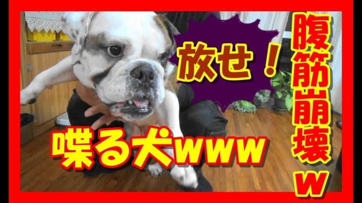 【面白動画】めっちゃ喋る犬 (ブルドッグのベリーちゃん)Talking dog