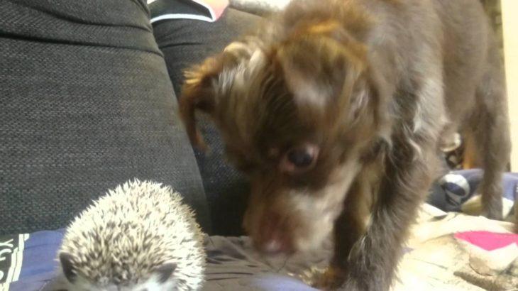 [おもしろ]ハリネズミに構って欲しい犬 dog vs hedgehog [かわいい][cute]