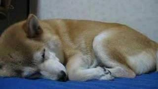 いびき柴犬