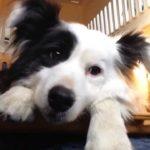 『犬の才能は無限』Bordercollie Nana