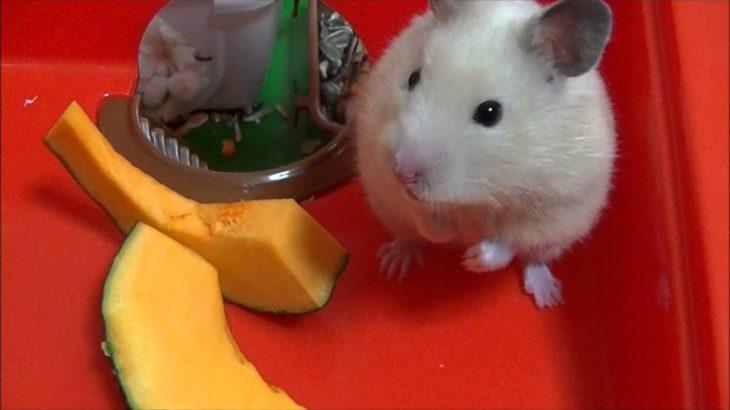 ハムスターが犬の鳴き声にびっくりする The hamster was surprised.