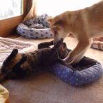 猫vs犬 ちゃんと手加減する犬&反撃に出る猫!