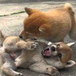 柴犬の子犬。心配になるくらい激しい喧嘩。