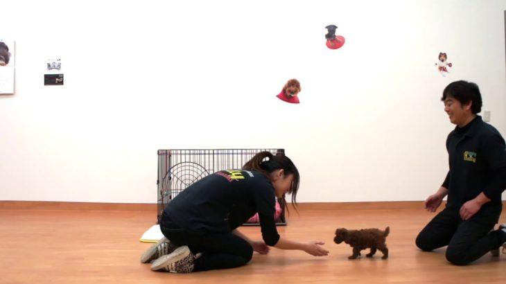 犬のしつけ方 講座:3か月からのトイレトレーニング(おしっこのしつけ@トイプードル)