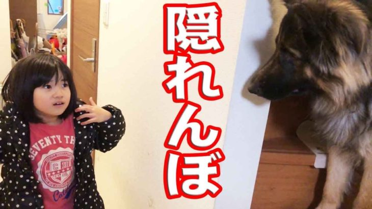 大型犬シェパード犬隠れんぼでビックリ作戦German Shepherd dog