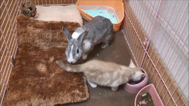 【子猫とうさぎ】うさぎに床ドンされてびっくりするかわいい子猫【Past videos】