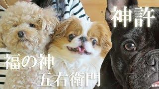 犬友さんと犬カフェランチ♪福の神、五右衛門、神許の3匹