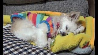 【自分で寝床を作るチワワのくー 犬は犬なりに考えてるんだと思わず感心】Chihuahua makes his own bed and goes to bed.