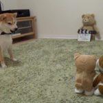 柴犬だいふく VS 動く柴犬おもちゃ〜強い子どっち!?〜 [Shibainu Daifuku plays wiz dog's toy ]