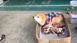 被り物の犬に反応するてんちゃん