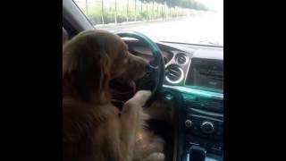 ペット、犬が車の運転を⁉︎。面白い。びっくり動画‼︎