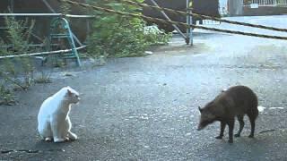 街猫VS狸VS散歩犬.avi