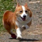 Goro runs / 走るゴローさん 20180429 slow motion dog コーギー 犬 corgi pembroke