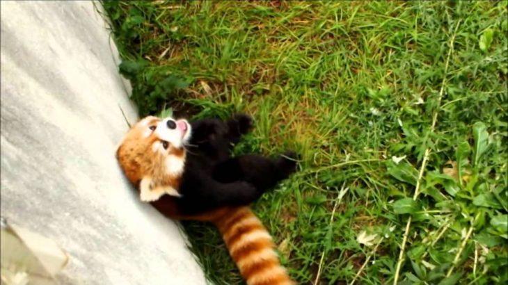 謎の音にビックリ!円山動物園のレッサーパンダ