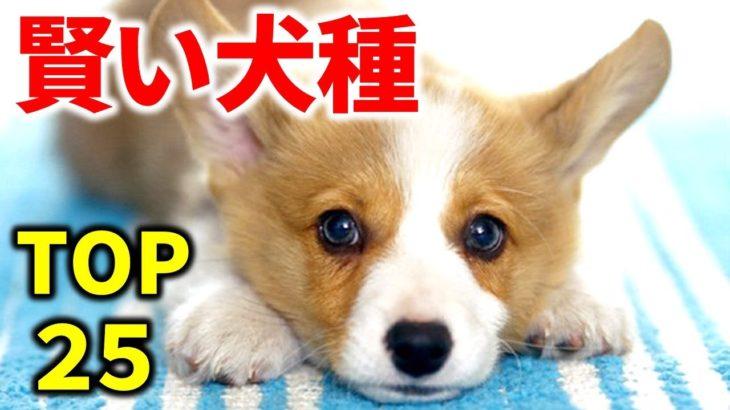 最も頭が良く賢い犬は?IQが高い犬種ランキングトップ25