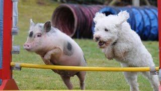 「絶対笑う」最高におもしろ犬,猫,動物のハプニング, 失敗画像集 #4