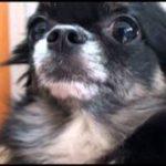 怒られて涙ポロンなチワワ  Chihuahua that sheds tears