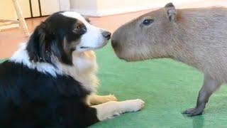 「絶対笑う」最高におもしろ犬,猫,動物のハプニング, 失敗画像集 #19