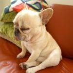 フレンチ・ブルドッグよりかわいい犬っているの??~Am I cute dog than French Bulldog?