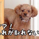 「あれ」が取れない!足踏みがカワイイ♡トイプードルのTaruto