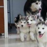 「最高におもしろ犬」 おもしろ犬 – 可愛い犬 – 犬動画 HD 2