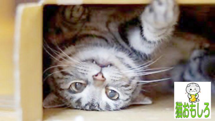 【猫 おもしろ】 猫 面白い 鳴き声
