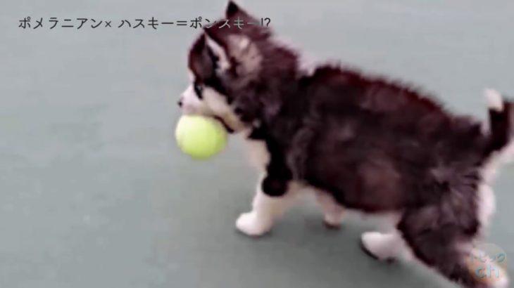 ポメラニアンとハスキーの子犬が天使すぎる… Pomeranian and Husky puppy are too cute.