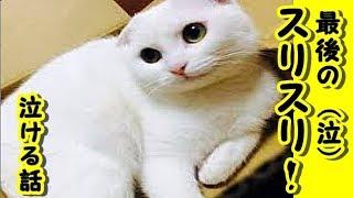 【感動 泣ける話 猫】最後のスリスリ・切なく哀しいお話【泣ける話 感動 動物 猫】動画 里親・招き猫ちゃんねる