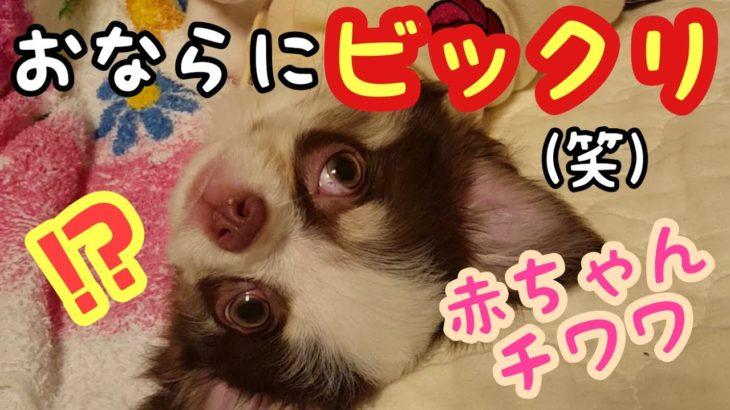 【チワワ だんご】おならにびっくり?!驚くチワワの赤ちゃん 犬【Chihuahua dango】 Surprised by a fart? It is! Amazing chihuahua baby.
